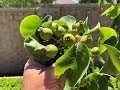 Growing Asian Pear Trees Part 2