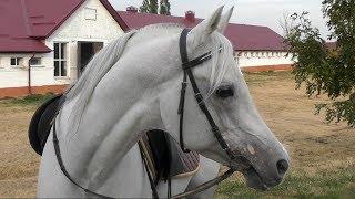 Где живет конь Путина чистокровный арабский жеребец Сирдар /ТерКонЗавод /Лошади Путина #ArabianHorse