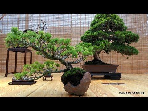 Выставка японских бонсай «Мир в глиняной плошке», 2015