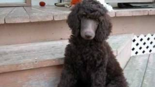 Beaucaniche Standard Poodle Puppies (10 Weeks Old)
