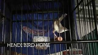 Ngebrend Sambung Nembak | Inilah Kicauan Burung Ciblek Paling Di Cari Untuk Masteran