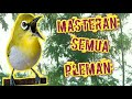 Masteran Pleci Semua Pleman  Mp3 - Mp4 Download