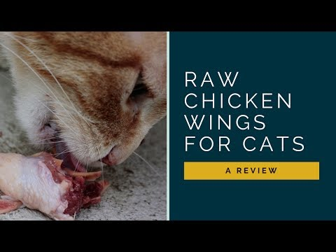 Should I Let My Cat Eat Raw Chicken Wings?