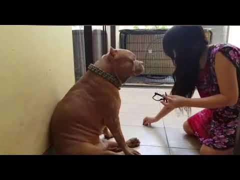 Ekspresi Anjing Pitbull Galak Saat Dimarahin