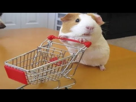 Funny And Cute Guinea Pig Videos - Compilation 2020