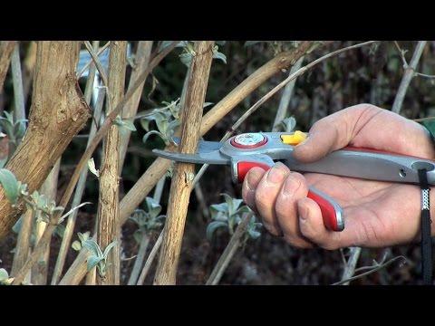 Schnittanleitung: Im Sommer blühende Sträucher schneiden