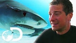 Bear Grylls VS Bull Sharks   SHARK WEEK 2018