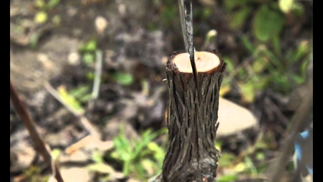 Oidio, come difendere le nostre piante in modo biologico