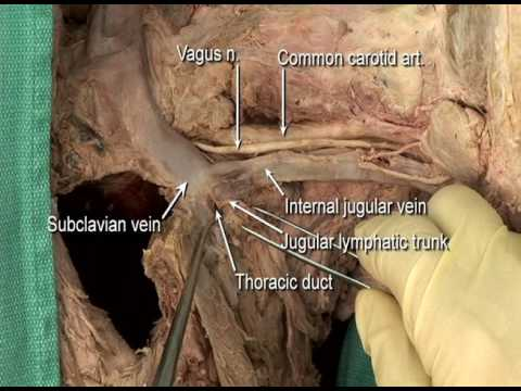 1.2 Step 11. Carotid sheath and its contents - YouTube