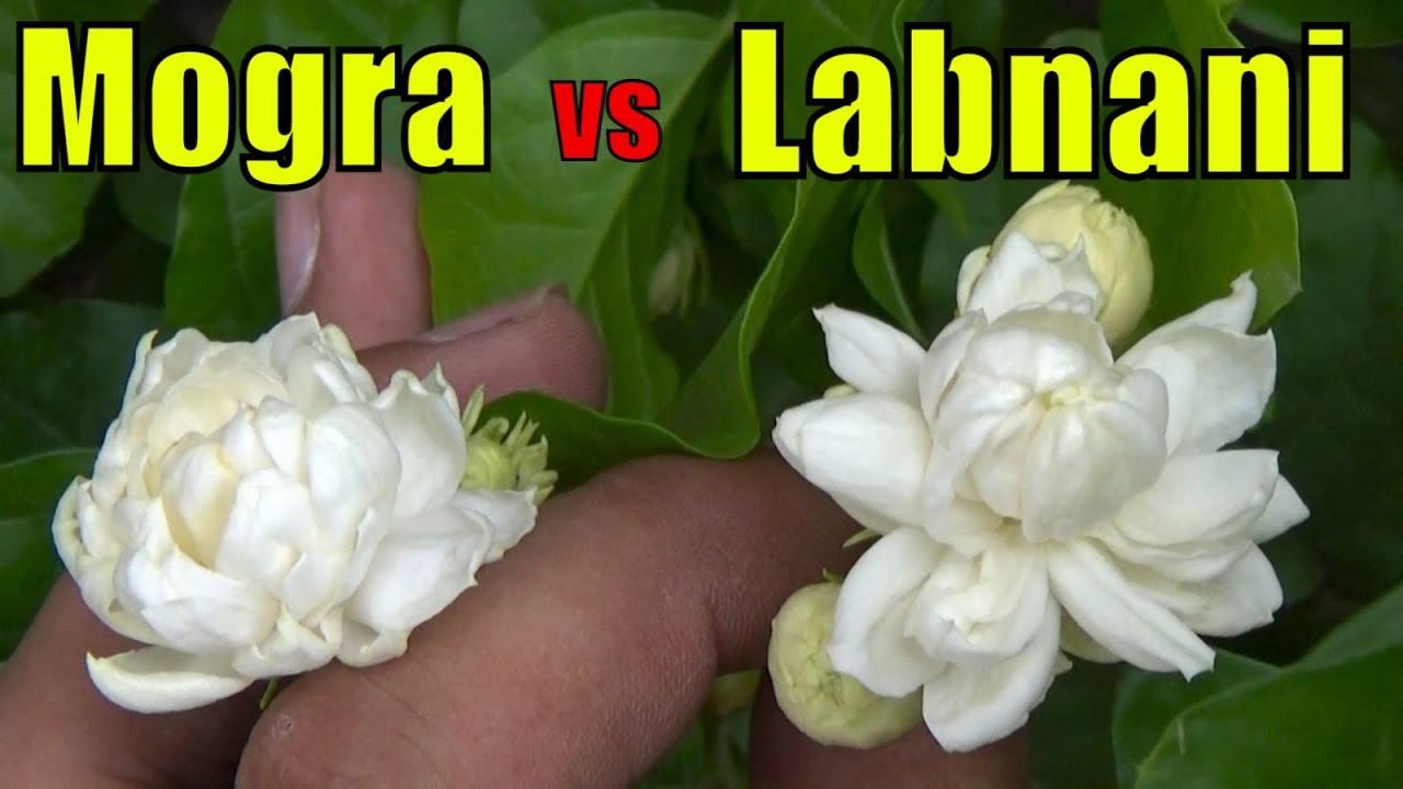 Mogra Jasmine Vs Labnani Jasmine Difference In Flower Size Youtube