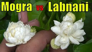 Mogra Jasmine vs Labnani Jasmine (Difference in Flower Size)