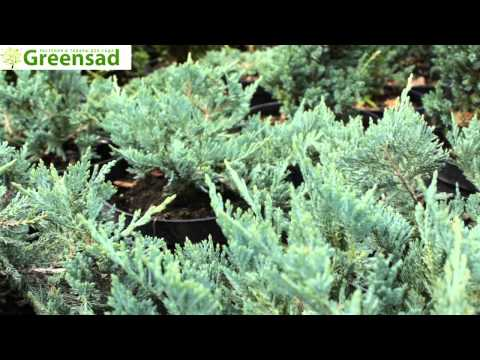 Можжевельник горизонтальный Принц Уэльский газон из