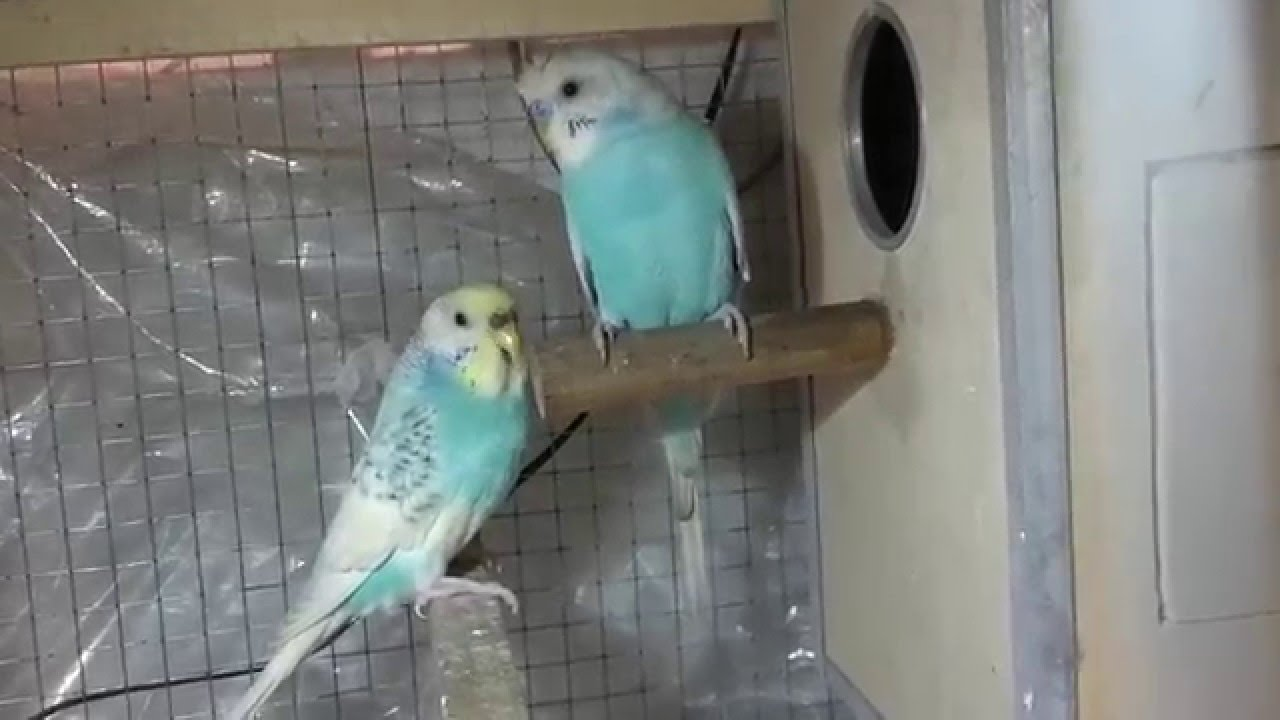 how to keep a parakeet warm