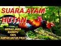 Gambar cover SUARA AYAM HUTAN MERAH JAWA / KASINTU