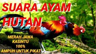 Download Mp3 Suara Ayam Hutan Merah Jawa / Kasintu
