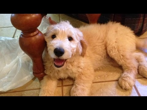 11 wk old Goldendoodle puppies nearly ready for Adoption