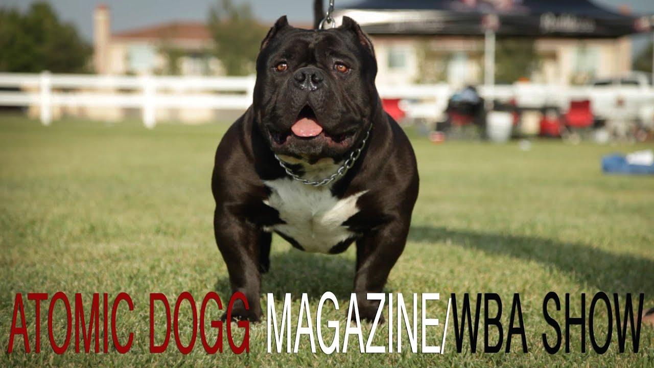 American Bully Show Atomic Dogg Magazine Wba Youtube