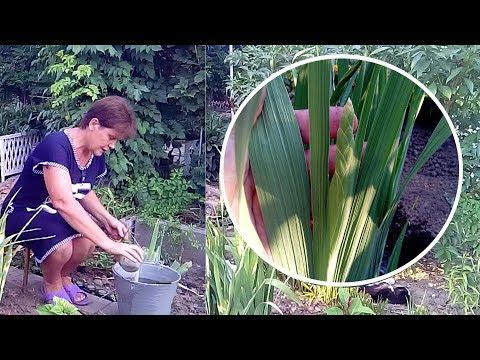 Чем подкормить гладиолусы перед цветением   Часть 5