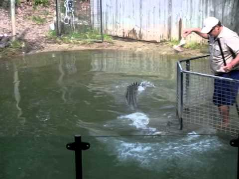 Crocodile feeding. Aggressive saltwater croc