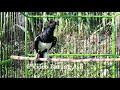 Pancingan Bunyi Kacer Dijamin Nyahutt Langsung Nyahut Masteran Juara Masteran Burung Jagoan  Mp3 - Mp4 Download