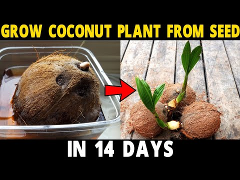 How to Grow Coconut Tree from Seed | Grow Coconut Plant at Home in 14 Days