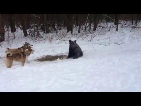 первое знакомство 9 месячных щенков с мишкой