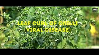 Pest and Insects of Chilli (মরিচের রোগ ও পোকামাকড়)