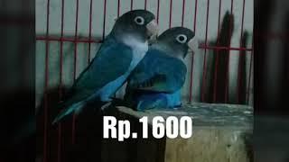 Jual indukan Lovebird