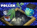 Cannabis Pollen – How To Collect, Store and Pollinate Females By A Male
