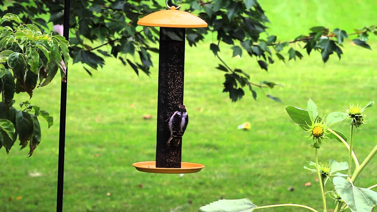blackbirds feeders finch is raiding cowbirds to tube bird hold feeder thistle designed
