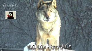 白いオオカミ 【アニマルテレビ】 雪の日のオオカミに、会いに行ったよ...
