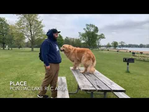 "Golden Retriever ""Desmond"" l Amazing Obedience l Dog Training Detroit MI"