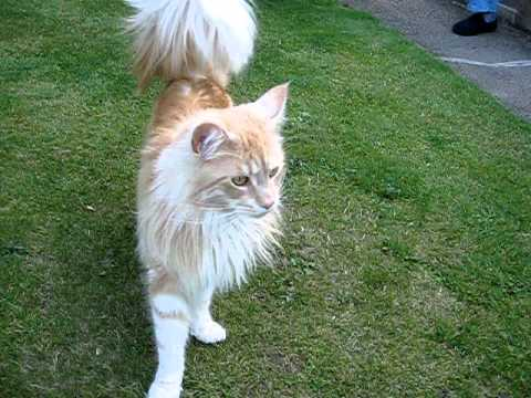 MAINE COONS IN ROMPING IN THE GARDEN