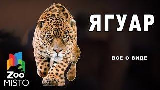 Ягуар - Все о виде хищных млекопитающих |  Вид хищных млекопитающих Ягуар