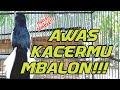 Kacer Bongkar Isian Kacer Tarung Kacer Emosi Pancingan Kacer  Mp3 - Mp4 Download