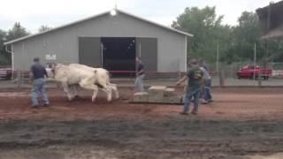 Durham 4-H Oxen Draw