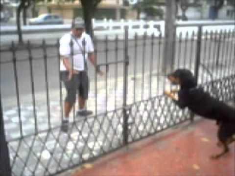 Tomando conta de residencia - Rottweiler