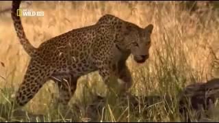 Животный мир | Пустыни и саванны | Материнское чувство | Хищники | Леопарды | Дикая природа |Африка