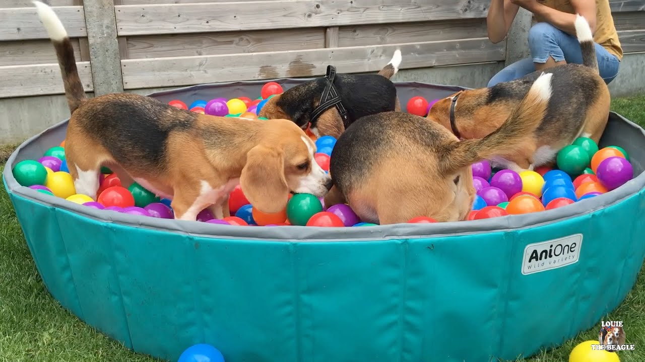 Throwing Treats in a Beagle Ball Pit : Funny beagles Playing