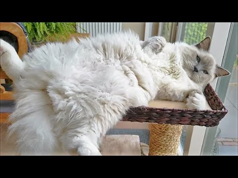 3 Minutes of a Ragdoll Cat Being a Ragdoll Cat