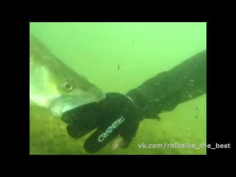 атака судака видео под водой