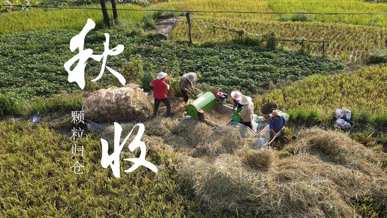 【二米炊烟】2500KG Paddy, How to Harvest in Chinese Village? 豐收啦! 5000斤水稻成熟了