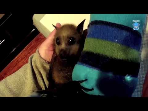 Rescuing a juvenile flying-fox on a balcony:  this is TimTam