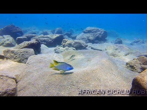 Chizumulu Island - Lake Malawi Cichlids - HD Underwater Footage