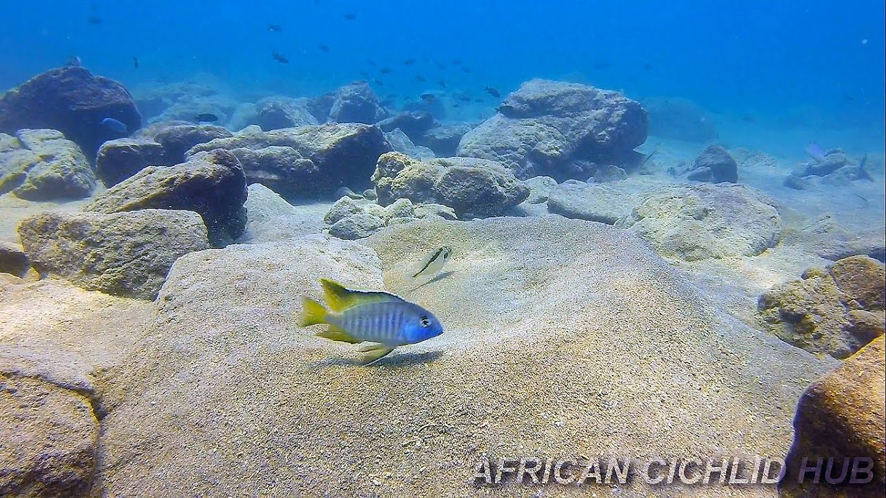 Chizumulu island lake malawi cichlids hd underwater for Lake malawi fish