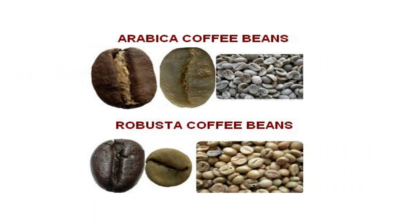 Differences Arabica vs Robusta - Coffee Beans Supplier (WA +6285768267805) - YouTube