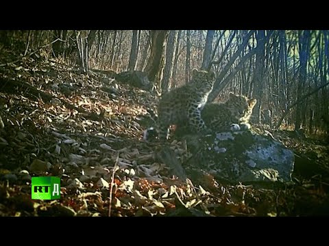 The Keepers Of Leopard Land (E4): Rangers check forest cameras to track down a lost leopard family