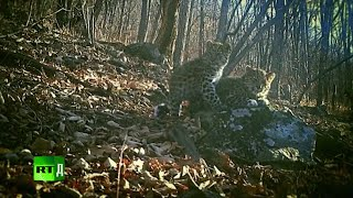 The Keepers Of Leopard Land (E4): Rangers check forest cameras to track down a lost leopard family thumbnail