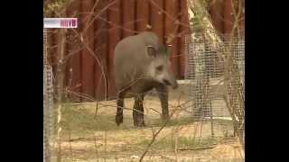 Тапир в зоопарке 'Лимпопо'