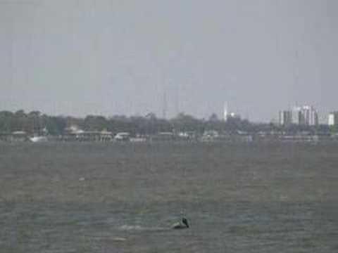 dolphins in halifax river port orange florida